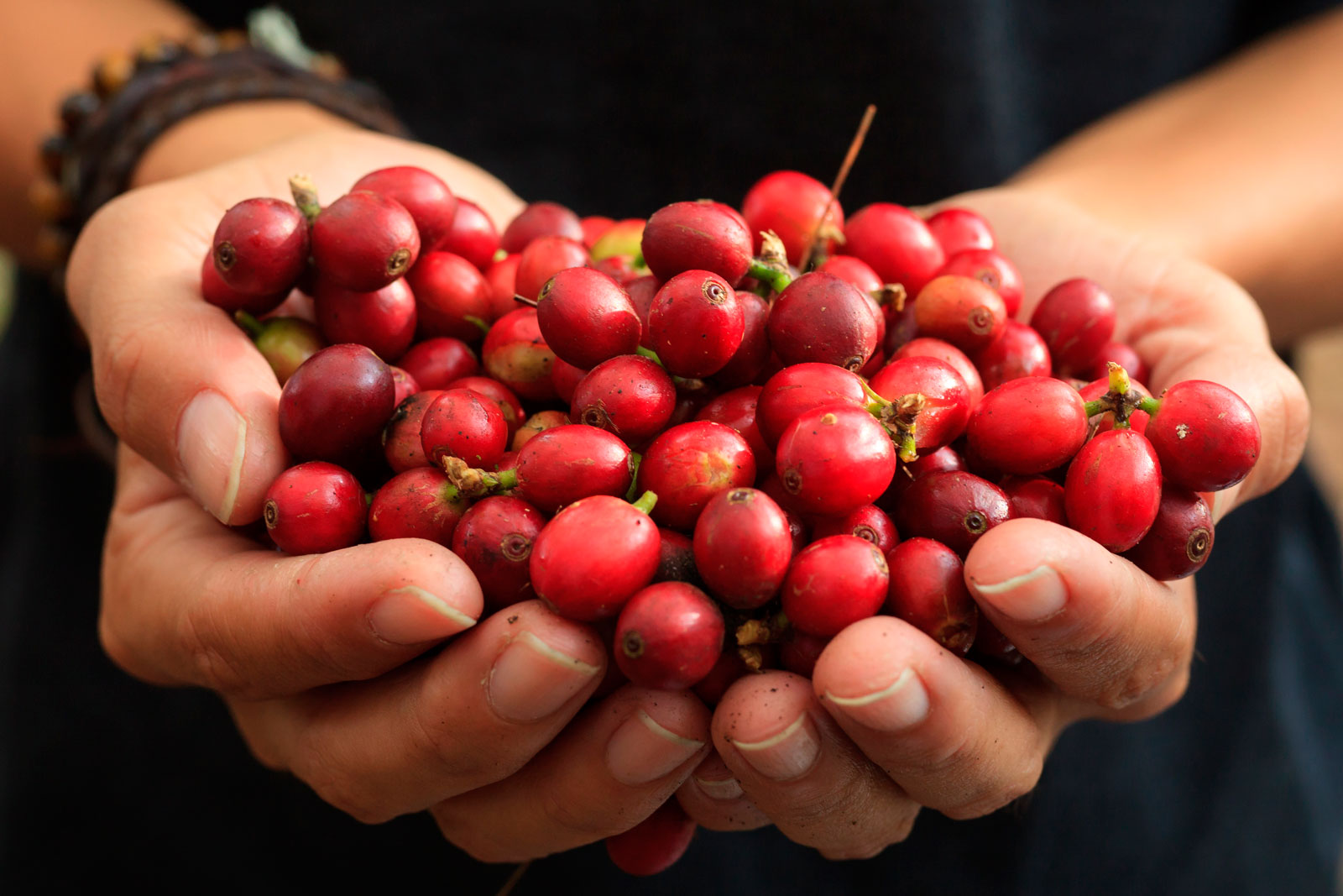 Hands with coffee cherries