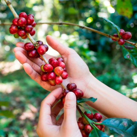hands picking coffee cherries